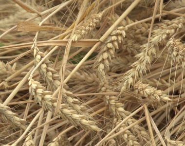 L'équipe de Résine Jardin a cultivé du blé pour pouvoir créer sa propre farine.