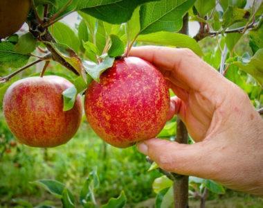 Sortie cueillette de pommes
